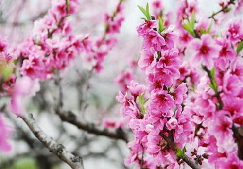桃花深红处 仁寿复安宁