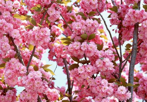 甘肃人何须去武大看樱花,去陇南就好了!